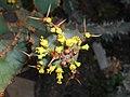Euphorbia caerulescens 2017-05-31 2166.jpg
