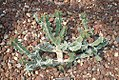 Euphorbia coerulescens 1zz.jpg