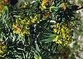 Euphorbia dendroides 2.jpg