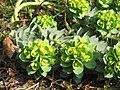 Euphorbia myrsinites flowers02.jpg