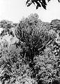 Euphorbia tree (3088704933).jpg