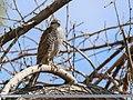 Eurasian Sparrowhawk (Accipiter nisus) (35038784665).jpg