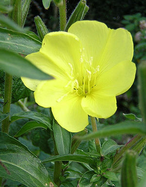 Photo of an evening primrose, showing the flow...