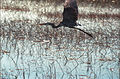 Everglades12(js)-Great Blue Heron.jpg