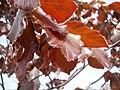 Fagus sylvatica 'Atropurpurea' detalle hojas pelillos.JPG