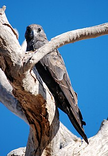 Black falcon falcon species