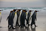 Falkland Islands Penguins 03.jpg