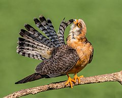 Female red-footed falcon preening (18868326815).jpg