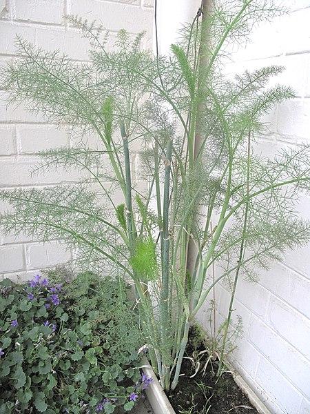 File:Fenouil en jardinière D140514 a.jpg