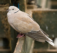 Feral Barbary Dove