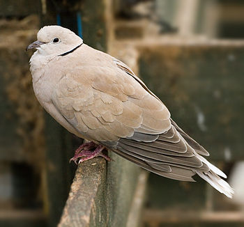 English: A Feral Barbary Dove in Tasmania, Aus...