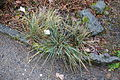 Festuca paniculata - Botanischer Garten, Dresden, Germany - DSC08691.JPG