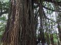 Ficus benghalensis @ Kodungallur India 04.jpg