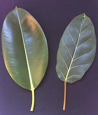 Ficus elastica - Image: Ficus elastica Ficus lutea