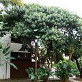 Ficus glumosa, habitus, b, Tuks.jpg