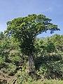 Ficus in the sun IMG 20200319 095432.jpg