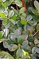 Ficus microcarpa 1zz.jpg
