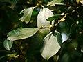 Ficus microcarpa P1130327 03.jpg