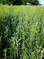 Filago vulgaris sl290.jpg