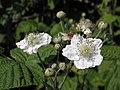 Fiori di mora da rovo (Rubus ulmifolius) sull'argine dell'Adige a Boara Polesine, Rovigo 05.jpg