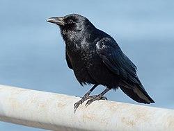 Fish crow in Red Hook (42712).jpg