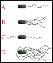 Os diferentes arranjos dos flagelos bacterianos.