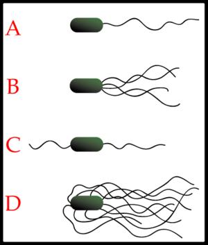 Examples of bacterial flagella arrangement schemes. A-Monotrichous; B-Lophotrichous; C-Amphitrichous; D-Peritrichous;