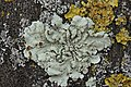 Flavoparmelia soredians (39999084104).jpg