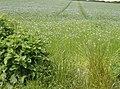 Flax below Garstons Down - geograph.org.uk - 499909.jpg