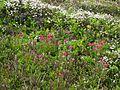 Flickr - brewbooks - Castilleja parviflora var. oreopola - Spray Park.jpg
