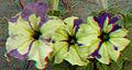 Flickr - jimf0390 - JimF 06-05-12 0009a flowers at Latham.jpg