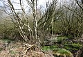 Flooded birch woods, Fenn's Moss - geograph.org.uk - 764058.jpg
