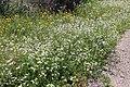 Flora della Sardegna 247 (16).jpg