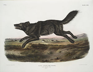 Florida black wolf - A Florida black wolf as drawn by James Audubon in Viviparous Quadrupeds of North America