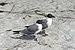 Florida seagulls 2 beach Longboat Key.jpg