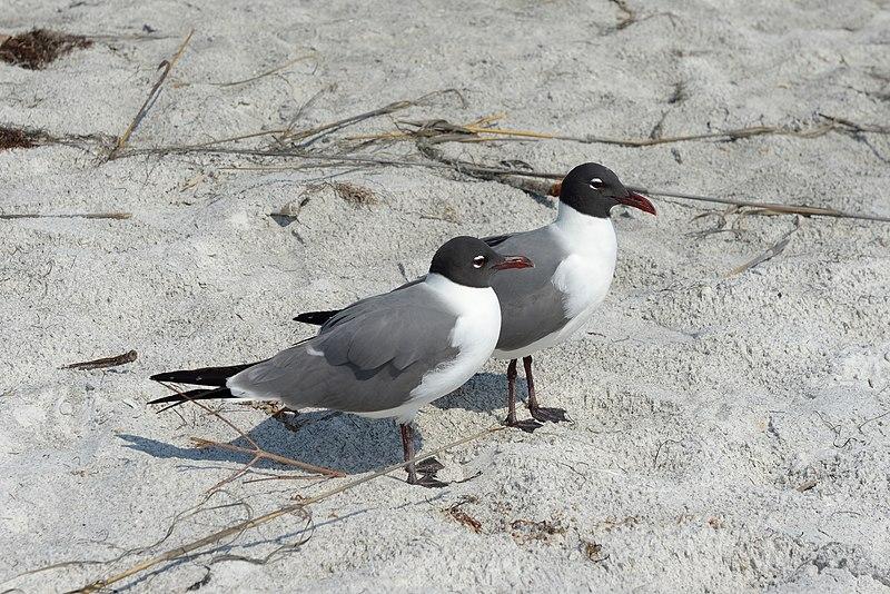 File:Florida seagulls 2 beach Longboat Key.jpg