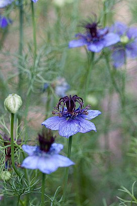 Flower, Spanish Love-in-a-Mist (Nigella Hispanica) - Flickr - nekonomania.jpg