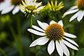 Flower at Ballarat botanical garden3.jpg