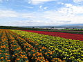 Flowers at Farm Tomita 3.jpg
