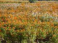 Flowers from western ghats (43).jpg
