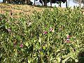 Flowers of Vicia sativa 20170328.jpg