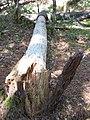 Forêt de la Coubre 033.jpg