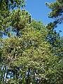 Forêt de la Coubre 041.jpg
