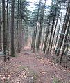 Forêt versant nord Rocher de Mutzig.JPG