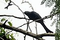 Fork-tailed drongo-cuckoo (Surniculus dicruroides) from the Anaimalai hills JEG3950.jpg