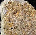 Fossiliferous sandstone (Vinton Member, Logan Formation, Lower Mississippian; Hanover Pit, Licking County, Ohio, USA) 12 (33684211418).jpg