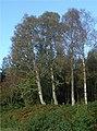 Four birches - geograph.org.uk - 257010.jpg