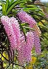 Fox tail orchid(Rhynchostylis retusa) (35040524830).jpg