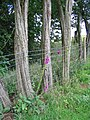 Foxgloves and barbed wire - geograph.org.uk - 481920.jpg