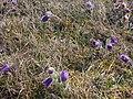 Frühlingsrundwanderung Schmücke bei Heldrungen Wilde Kuhschelle zusammen mit den Wildprimel-Himmelsschlüsselchen , Adoniasröschen - später folgen Orchideen und die Silberdistel - panoramio.jpg